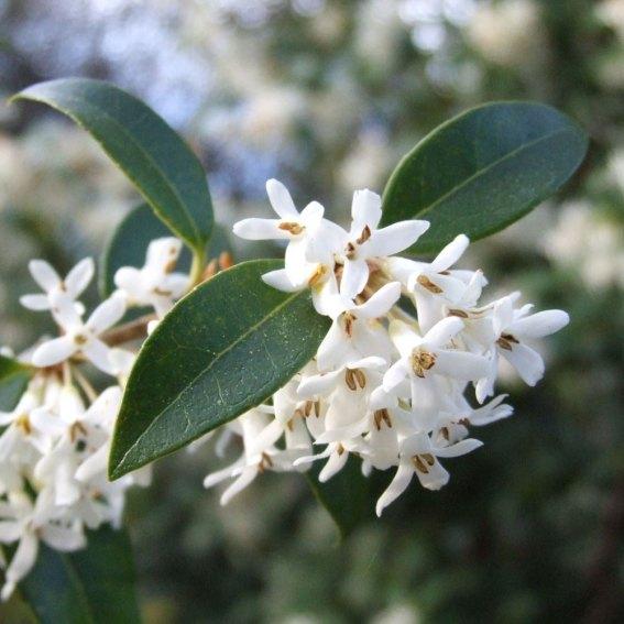 osmanthus x burkwoodii à planter sous un arbre