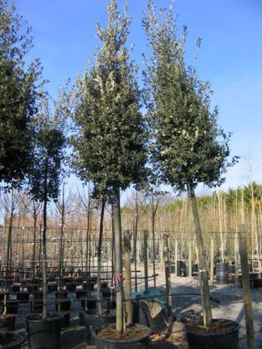chêne vert tronc