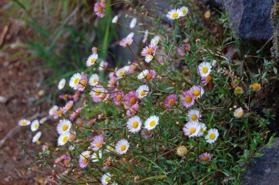 érigerons karvinskianus fleurs