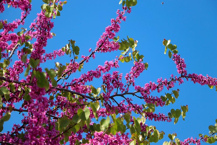 Arbre de Judée (Cercis siliquastrum), un petit arbre pour petit jardin