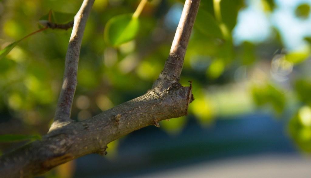 tailler un arbre à petit développement