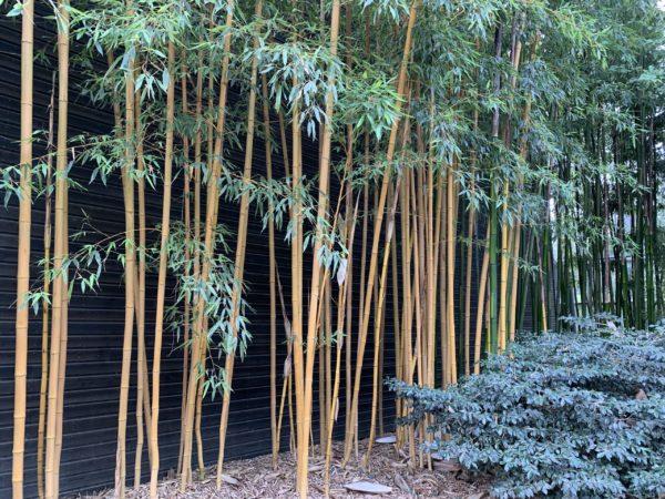 bambou à cannes jaunes non allergène
