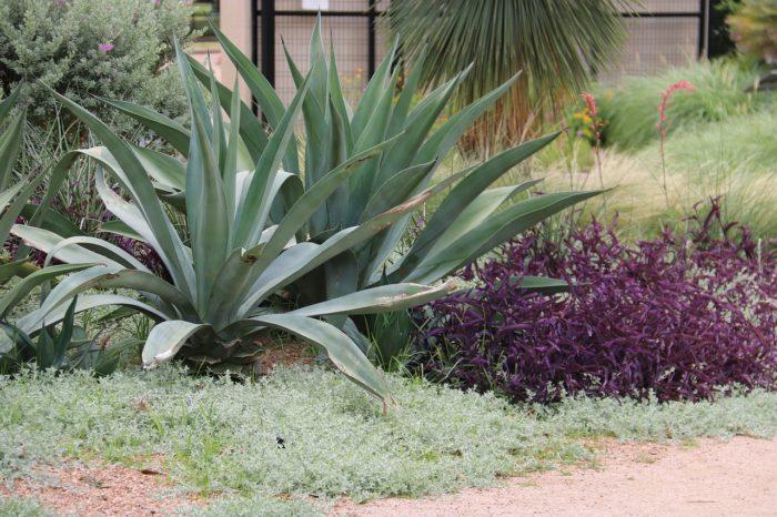 massif dans jardin sec avec plantes grasses resistant au gel agaves avec des plantes vivaces