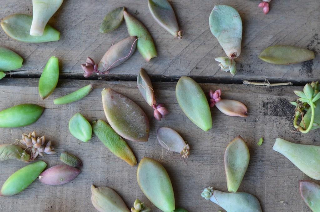 Boutures avec feuilles de plantes grasses exterieur resistant au gel