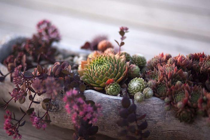 plantes grasses en pot à l'exterieur qui résistent au froid joubarbe ou sempervivum