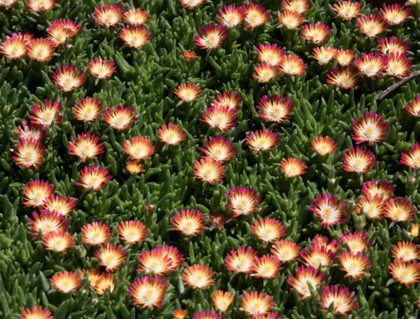 plante grasse Delosperma à fleurs bicolores, succulente d'extérieur resistant au gel