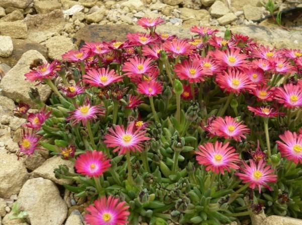Delospermas plante grasse retombante pour rocailles à fleurs roses resistant au gel