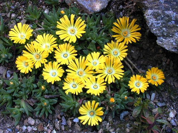 Delosperma à fleurs jaunes , plante grasse exterieur