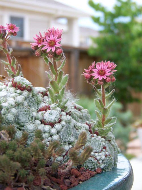 plante grasse exterieur resistant au gel Joubarbe à rosettes et fleurs roses