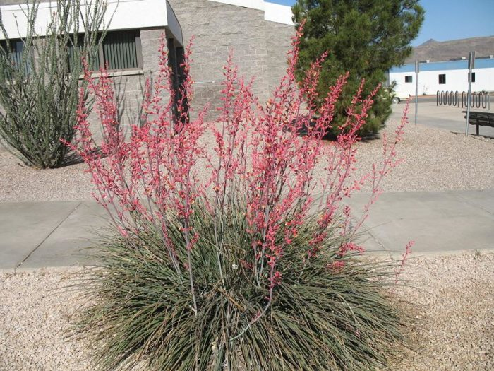 faux yucca Hesperaloe plante grasse exterieur resiste au gel fleurs roses feuillage persistant