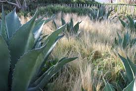plantes grasses et graminées en massif agave et stipa en extérieur resistant au gel
