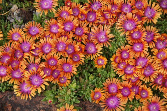 Delosperma à fleurs bicolores rose et orange plante grasse exterieur resistant au gel