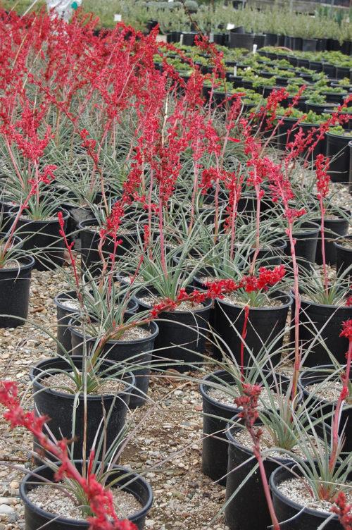 culture Hesperaloe ou yucca corail plante grasse exterieur ne craint pas le froid fleurs roses en pot