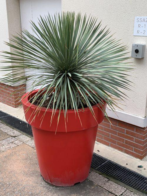 yucca rostrata en pot rouge plante grasse resiste au gel en exterieur
