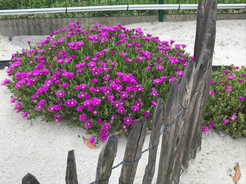 plantes grasses Delosperma à fleurs roses ou violettes resiste au gel en exterieur paillage