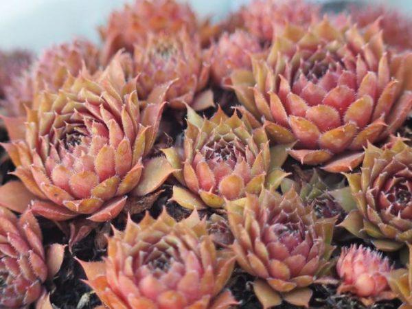 Joubarbe plante grasse à rosettes d'extérieur résistant au froid