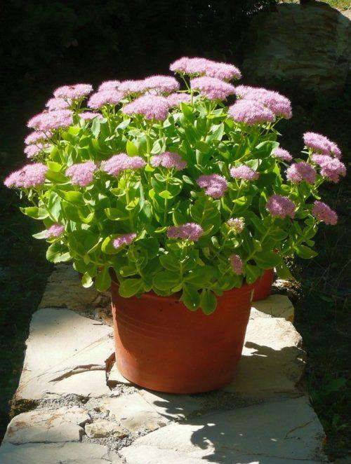 Sedum spectabile brilliant en pot, une plante grasse exterieur resistant au gel
