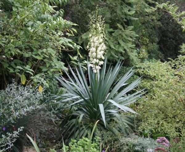 yucca gloriosa en fleur plante grasse exterieur