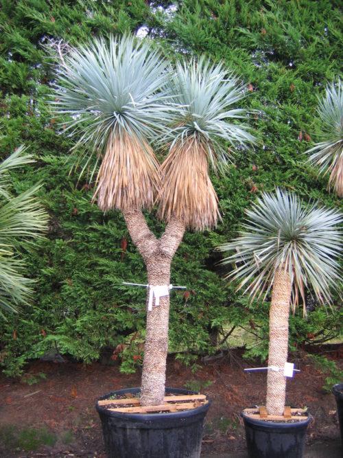 grand yucca rostrata double sur tronc, une plante grasse exterieur exotique qui resiste au gel