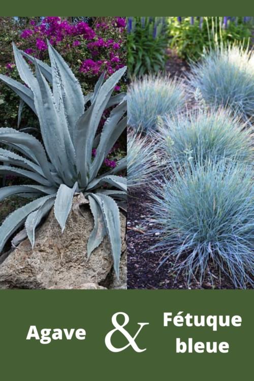 association de feuillages entre plante grasse exterieur agave et graminée fétuque bleue