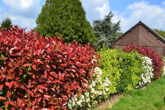 haie d'arbustes persistants colorés qui gardent leurs feuilles l'hiver
