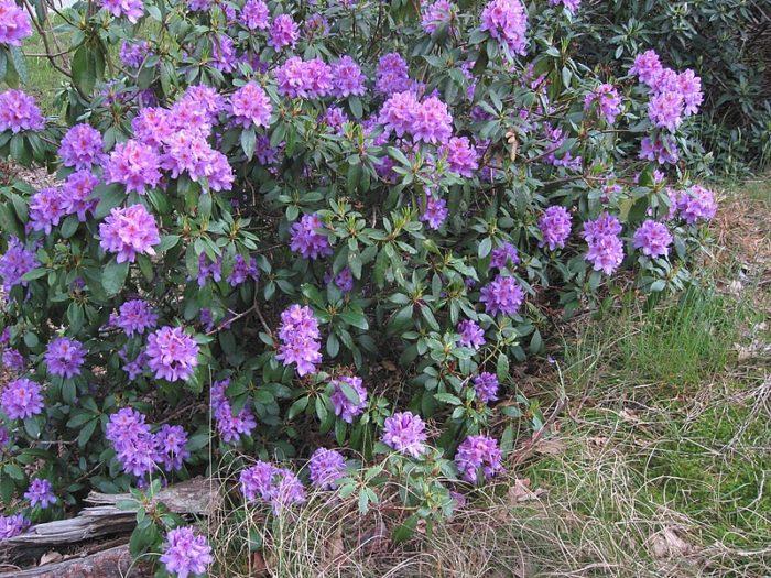le rhododendron ponticum est un arbuste persistant idéal en haie