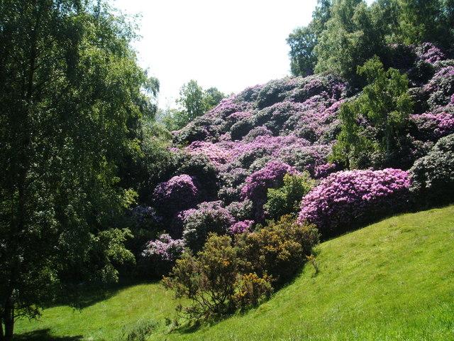 rhododendron ponticum pour faire une haie avec cet arbuste persistant