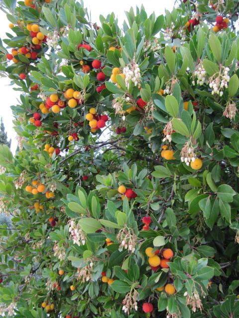 l'arbousier est un arbuste persistant décoratif