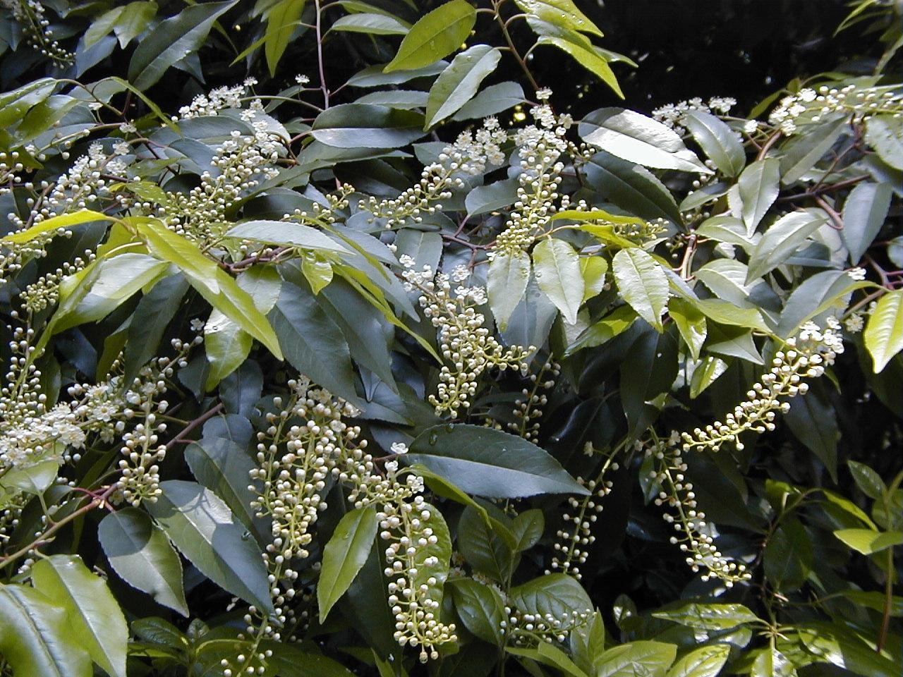 feuillage du laurier du portugal, un arbuste persistant qui fleuri blanc