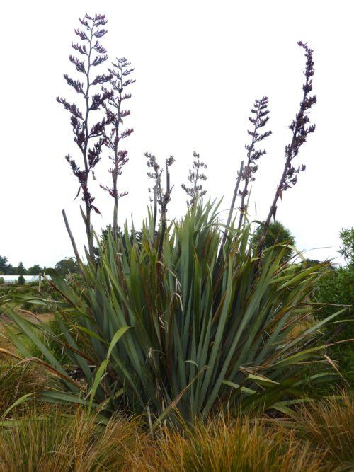 le phormium tenax est un arbuste persistant décoratif avec ses fleurs