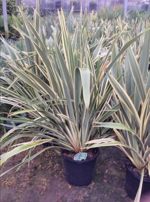 le phormium tenax variegato est un arbuste persistant panaché