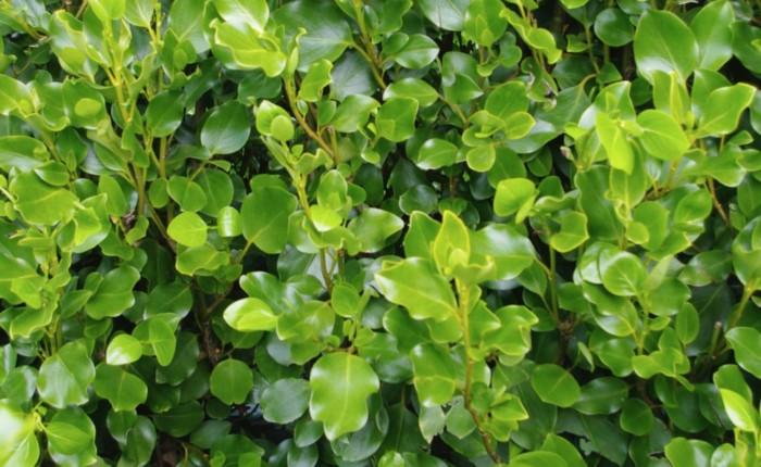 feuillage épais et luisant de l'arbuste persistant griselinia littoralis