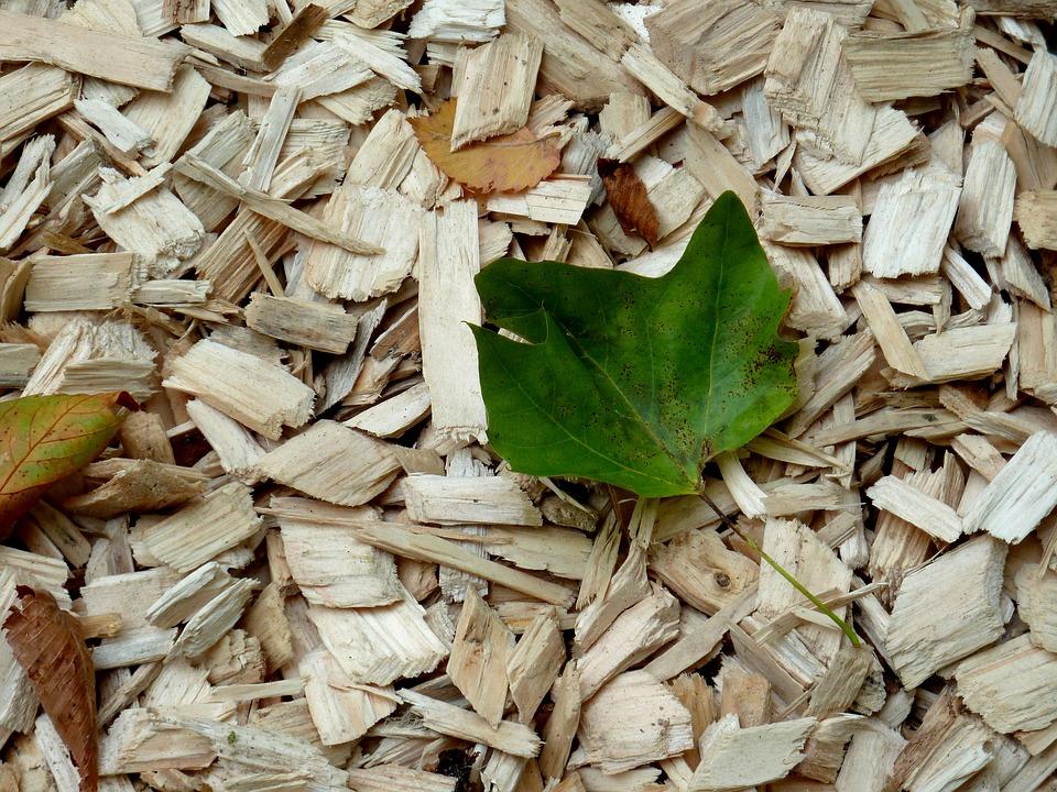 paillage végétale pour protéger les arbustes persistants contre le gel