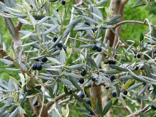 plantation d'un olivier arbre fruitier qui donne des olives