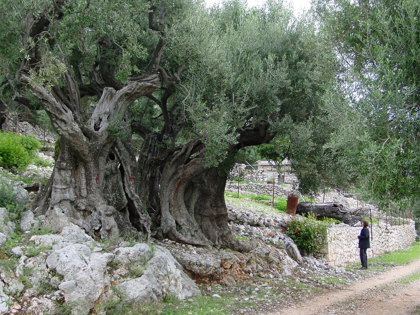 comment planter un très vieil olivier millénaire