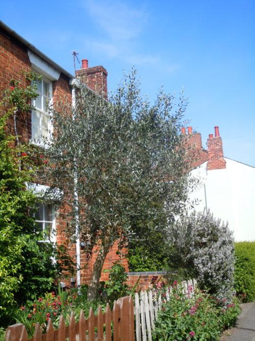 olivier planté proche d'une maison sans risque pour les fondations