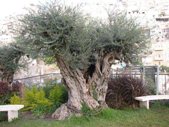 comment planter un vieil olivier avec l'aide d'un paysagiste