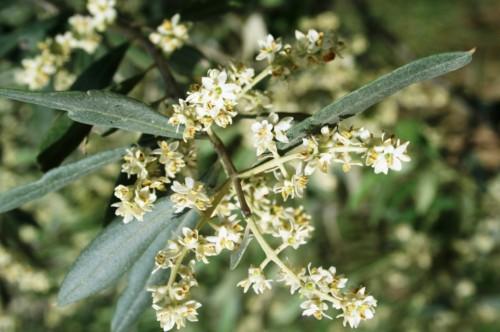 fleur de l'olivier