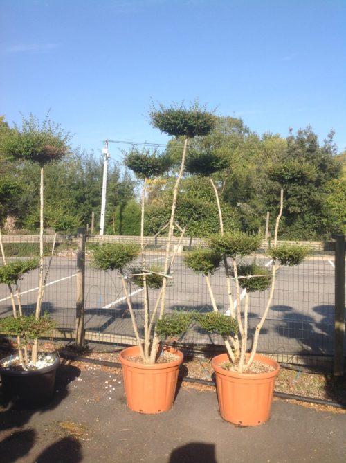 comment planter un olivier nuage