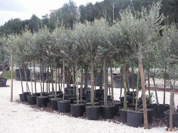 comment choisir un olivier sur tige pour le planter dans le jardin