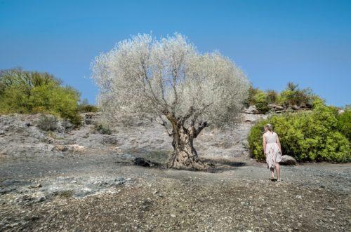 comment planter un olivier dans une terre pauvre et sèche