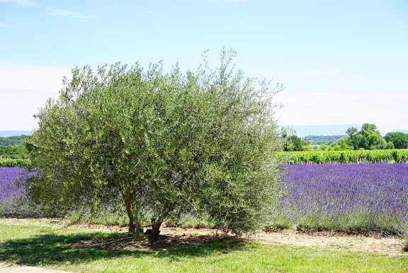 comment planter un olivier en touffe pour en faire un arbuste de haie vive