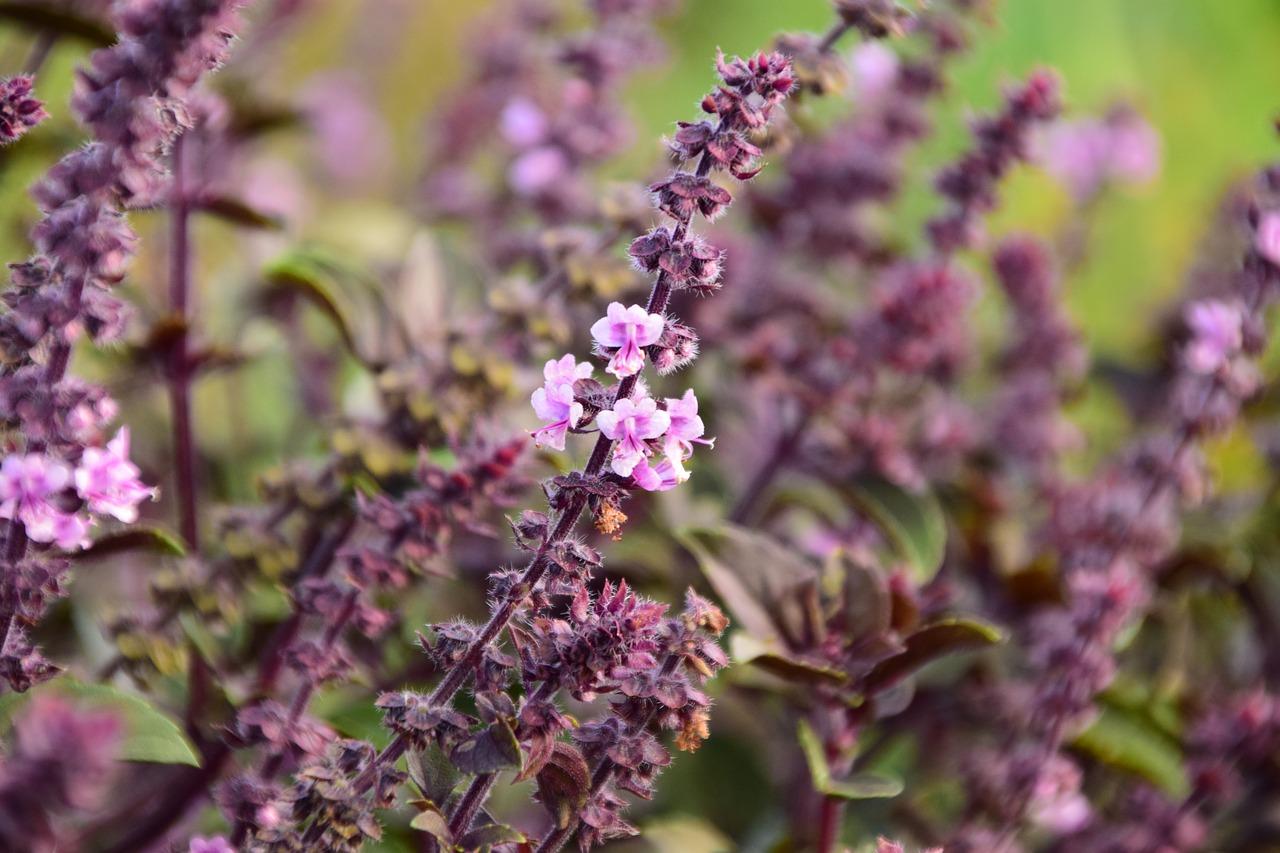plantez de la menthe et profitez de ses belles fleurs mellifères