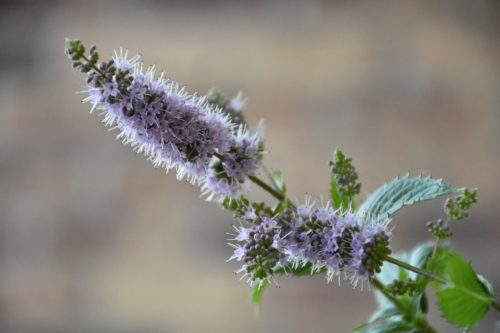fleur de menthe comestible à planter dans son jardin