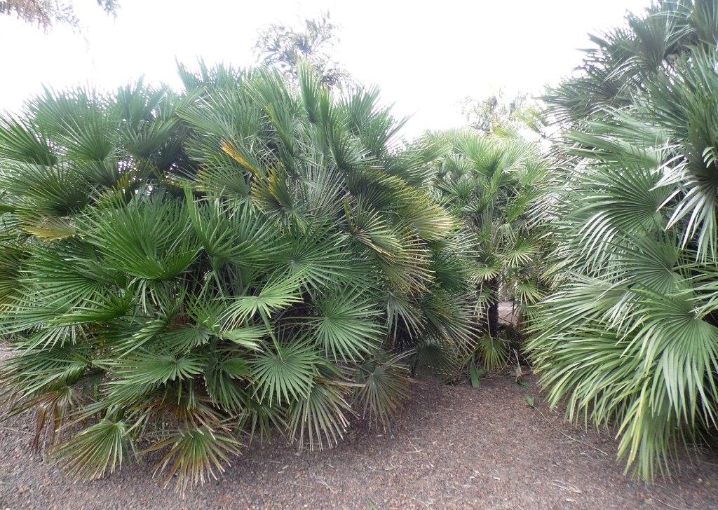 palmiers à planter dans un aménagement autour d'une piscine