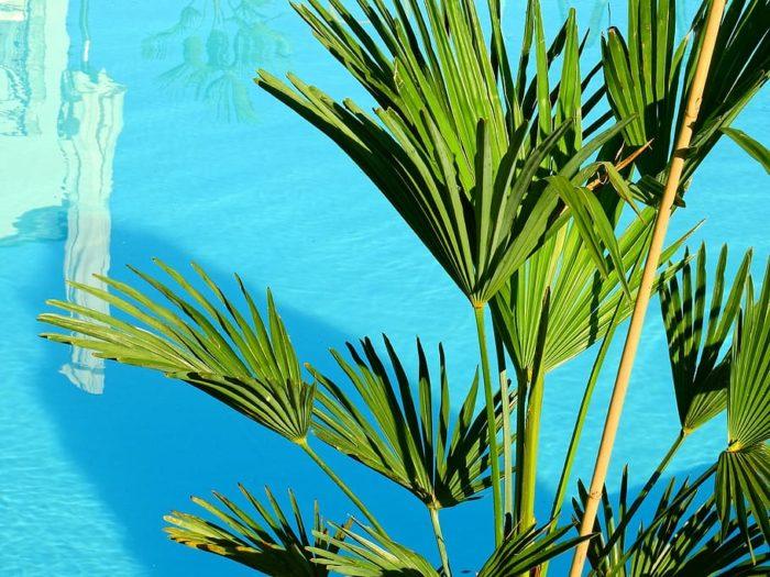 palmier proche de la piscine