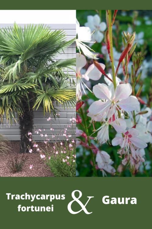 palmier résistant au gel avec des vivaces