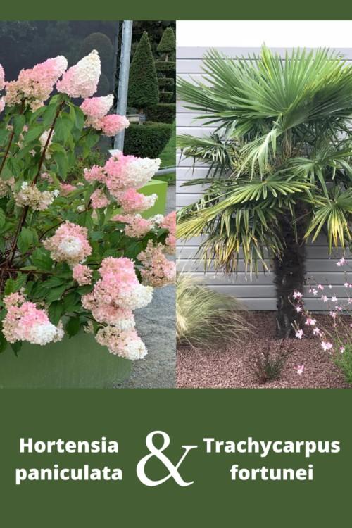 palmier résistant au gel avec des hortensias paniculata