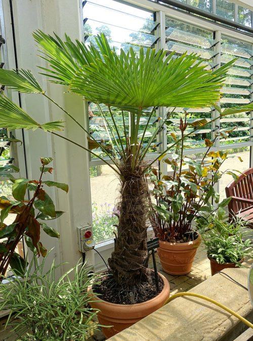 Trachycarpus Fortunei en pot, un palmier resistant au gel