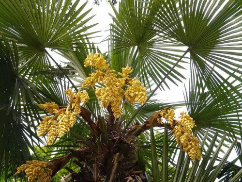 fruit d'un trachycarpus, un palmier résistant au gel